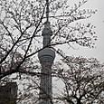 04 墨田公園の桜とスカイツリー